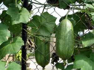 loofa gourd